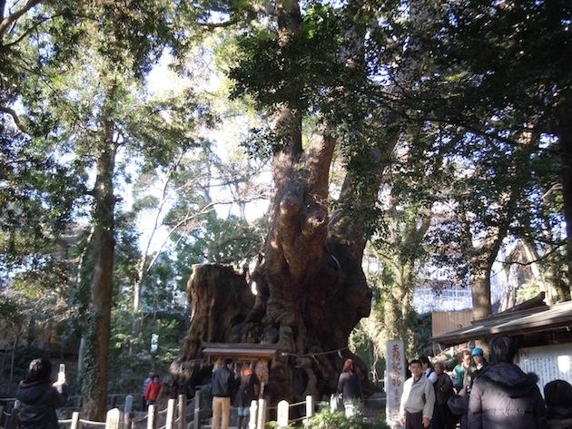 来宮神社 天然記念物 大楠