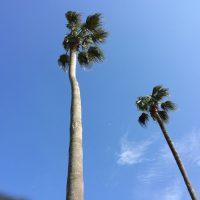 椰子の木 ヤシの木 やしの木