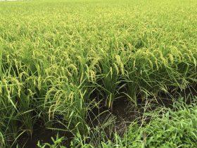 水田 田んぼ 米作り 稲作 農業